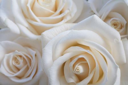 Elegant close up of a white rose background