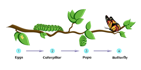 Life cycle of butterfly eggs, caterpillar, pupa, butterfly. Metamorphosis.