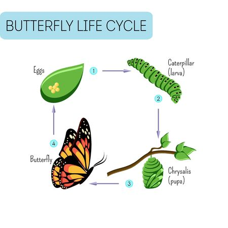 Life cycle of butterfly.