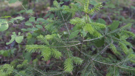 Dolly shot of little young pine tree in forest. Dry branches, cones and needles in the forest. Wild forest.
