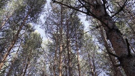 Bottom view of pine tree in forest. Big and tall pine tree when looking up. Large tree with forked branches. Vertical panoramic scene of tree in beautiful nature scene Stockfoto