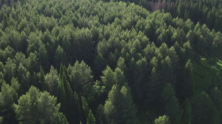 Aerial view of green conifers trees in countryside woodland. Drone s above colorful texture in nature. Aerial drone view of big dense forest with green vegetation in countryside. Stockfoto