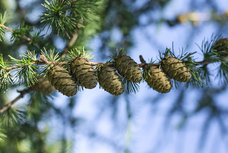 Green larch cones in the rays of the setting sun