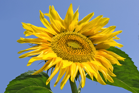 Sunflower on a blue sky background