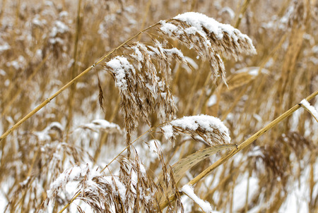 Dry reeds covered with snow