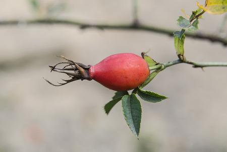 Ripe berry of briar on a bush branch