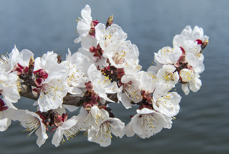 Beautiful apricot flowers on a branch against dark background of river water. Flowers and plants.