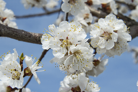 Blossoming flowers of apricot tree on a branch. Flowers and plants.