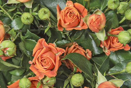 Orange roses with unblown buds. Flowers and plants. Stok Fotoğraf