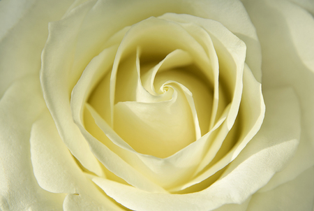 Beautiful bud of light yellow rose. Flowers and plants.