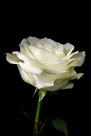 Beautiful bud of white rose on a black background. Flowers and plants.