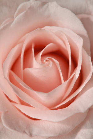 Beautiful blossom bud of pink rose. Flowers and plants.