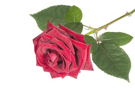Blossom rose of burgundy color on white close up Stok Fotoğraf
