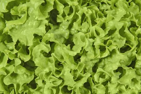 Green curly leaves of lettuce salad. Vegetables and salad. Healthy food conception.