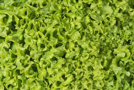Green lettuce salad background. Vegetables and greenery.
