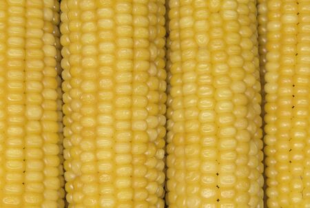 Raw corn ears. Food and agriculture conception. Stok Fotoğraf