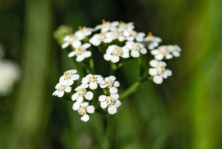 Inflorescence of small white flowers. Nature and plants
