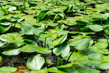 Thickets of water lilies on the water surface. Flowers and plants 免版税图像