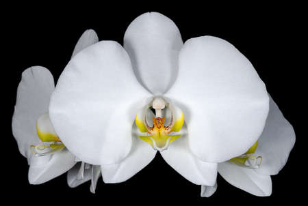 Moth orchid flower on a black background. Flowers and plants 免版税图像