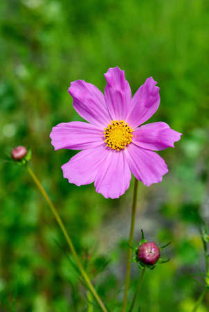 Kosmeya pink flower on a green background. Flowers and plants