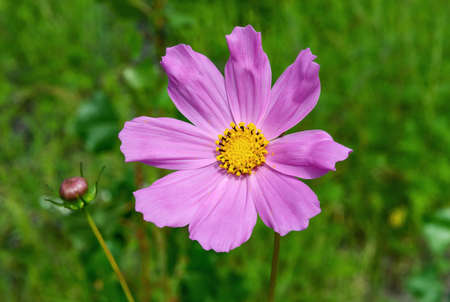 Light pink kosmeya flower on a meadow close up. Flowers and plants