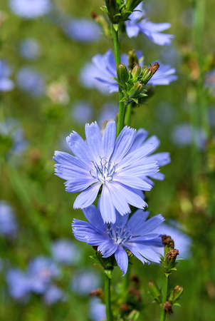 Blue cichorium wildflowers on the meadow. Flowers and plants