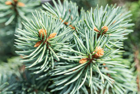 Green spruce needles on branch close up. Natural textures and backgrounds