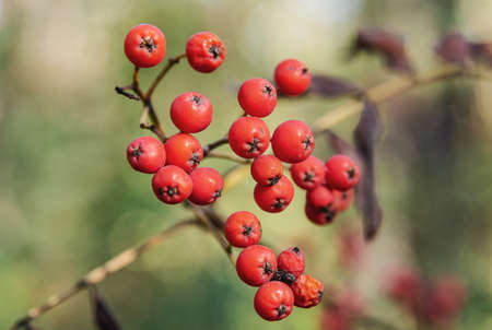 Berries of red rowanberry on a blurred background. Nature and plants