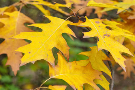 Fall foliage of canadian oak against blurred background. Nature and plants