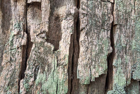 Texture of old dry tree covered with moss close up. Natural backgrounds and textures