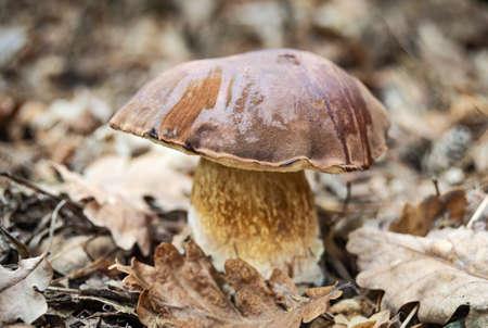 Big porcini mushroom (Imleria badia) in autumn forest. Mushrooms and wild plants