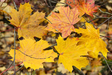 Fallen autumn maple leaves. Nature and plants