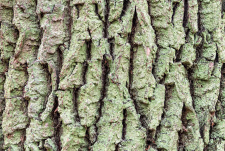 Oak bark covered with green lichen. Natural backgrounds and textures 免版税图像