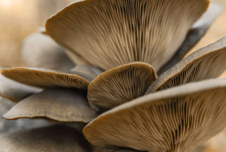 Mushrooms with lamellar cap texture. Mushrooms and wild plants Stockfoto