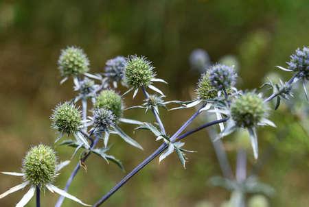 Flower of the blue thistle amethyst eryngo (Eryngium amethystinum). Wild plants and flowers