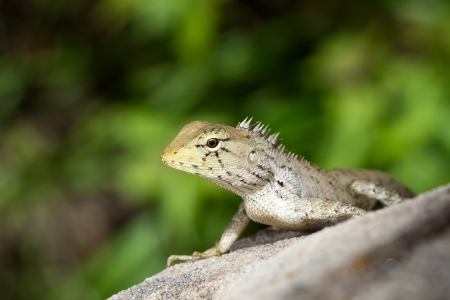 squamata: Green iguana on the rock in the natural Stock Photo