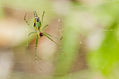 Golden orb web spider  Nephila senegalensis   Stock Photo