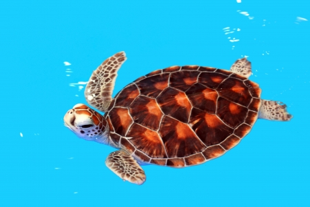green turtle: Sea Turtle in Nursery ponds