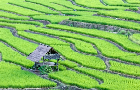 indonesia culture: terrace rice fields