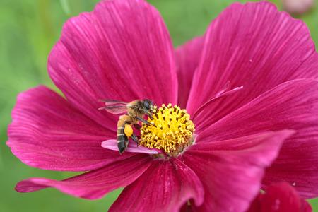 flier: Bee in flower bee amazing,honeybee pollinated of red flower Stock Photo
