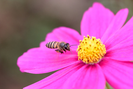 Honeybee pollinated of pink flower photo