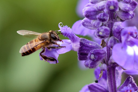 Honeybee pollinated of violet flower photo
