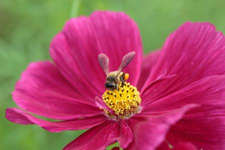 Bee in flower bee amazing,honeybee pollinated of red flower photo