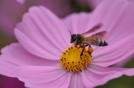 Bee in flower bee amazing,honeybee pollinated of pink flower photo