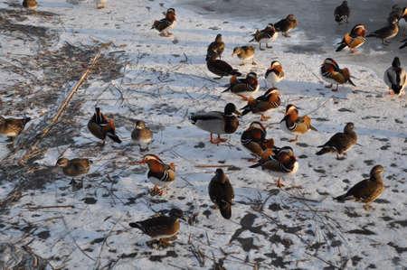 Ducks on Ice pond photo