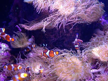 clown fish: Clown fish in an aquarium.