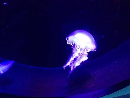 aqua: Jellyfish in an aquarium.