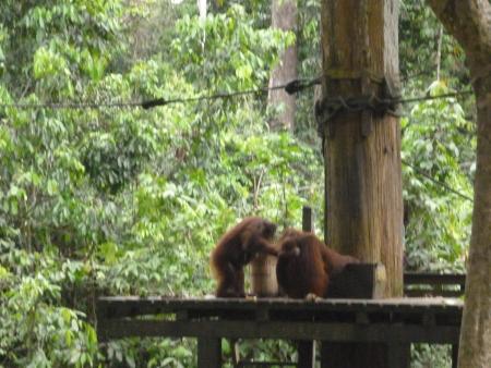 sandakan: Orang Utan, Sepilok, Sandakan, Sabah, Malaysia