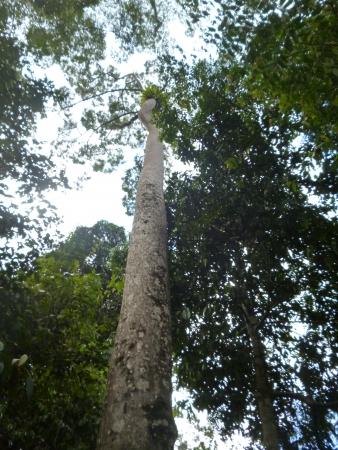 sandakan: jungle, green, tree, sepilok, sandakan, sabah, malaysia