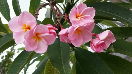 Close up of frangipani pink flower Stock Photo